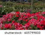 Stock photo victoria state rose garden australia 605799833
