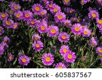 Pink Flowers Of Alpine Aster ...