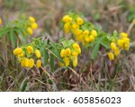 Small photo of Leontice. Yellow spring flowers on a meadow.