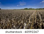 Corn Field At Harvest Time