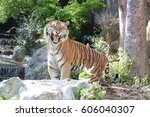 Small photo of Royal bengal tiger is roaring.