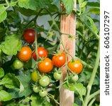 Tomatoes Bush