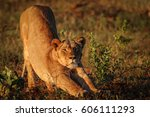 lion stretching after nap in... | Shutterstock . vector #606111293