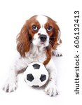 Stock photo dog with toy ball cavalier king charles spaniel dog puppy with toy soccer ball soft little 606132413