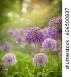 beautiful flowers. purple alium ...