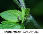 Green Grasshopper On A Leaf.