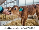 Small photo of Human hand are touching a calf nose. Calf licks the hand of human