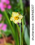 Small photo of Yellow daffodil flower plant, Narcissus from Amaryllidaceae (amaryllis) family, close up.
