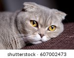 My Scottish Fold Cat
