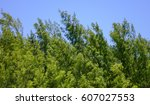 Small photo of Top of Casuarinaceae trees under blue sky at sunny day in forest