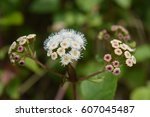 Small photo of Ageratina adenophora macro