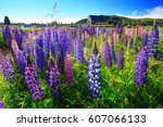 Lupine Field At Church Of The...