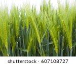 Ears Of Green Wheat