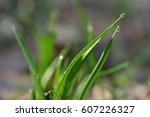 Dew Drops On Green Grass At...