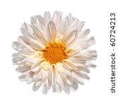 Beautiful White Dahlia Flower...