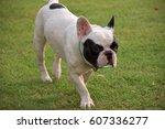 french bulldog walking in field | Shutterstock . vector #607336277