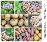 collage with different potato...   Shutterstock . vector #607446377