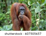 Bornean Orangutan In The Wild...