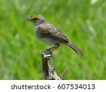 Small photo of Yellow-browed sparrow (Ammodramus aurifrons)