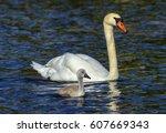 mute swan  cygnus olor  mother... | Shutterstock . vector #607669343