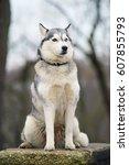 Grey Siberian Husky Dog With...