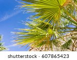 Fan Palm Tree  Washingtonia...