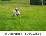 Chihuahua Dog Running The Lawn.