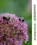 Two Bees Working On Purple...