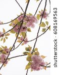 cherry blossom against white sky | Shutterstock . vector #608169563