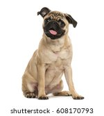 Stock photo pug puppy sitting months old isolated on white 608170793