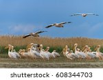white pelicans in the danube... | Shutterstock . vector #608344703