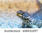 Spiky Sungazer Lizard
