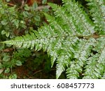 Asplenium Lamprophyllum Is A...