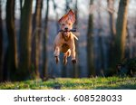 flying hungarian pointer hound... | Shutterstock . vector #608528033