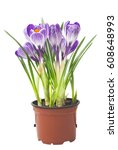 Crocus In A Pot On A White...