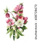 Hellebore Flowers White And Re...