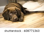 Stock photo chocolate labrador puppy resting on wood floor 608771363
