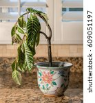 drooping houseplant in pottery... | Shutterstock . vector #609051197