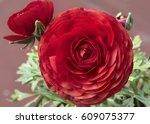 red ranunculus asiaticus | Shutterstock . vector #609075377