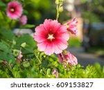 Pink Hollyhock  Perennial...