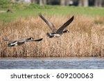 Canada Goose  Goose  Birds