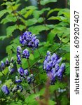 Small photo of Monkshood (Aconitum autumnale) blue and white flowers closeup in summer garden.