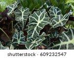 Small photo of Alocasia sanderiana