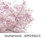 blooming sakura on white... | Shutterstock . vector #609256613