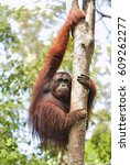 Bornean Orangutan On The Tree...