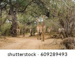 herd of giraffes walking on... | Shutterstock . vector #609289493