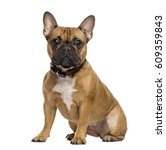 French Bulldog Sitting And...