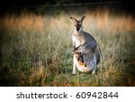 Australian Kangaroo With A Joe...