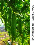 Small photo of food fresh gardening vegetable agriculture cucurbitaceae white fruit green cucumber charantia isolated healthy natural leaf organic