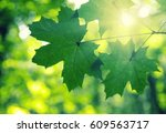 Green Leaves And Sun In Spring